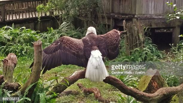 rear view of bald eagle perching on wood - perching stock photos and pictures
