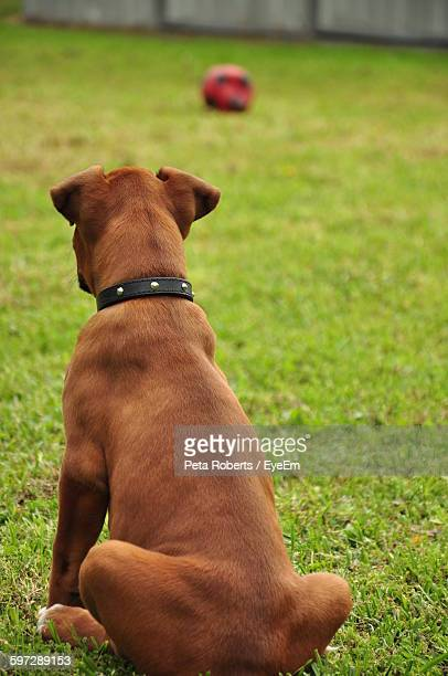 Rear View Of Boxer Dog Sitting On Grass