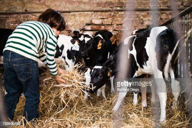 Rear view of boy scattering straw on organic dairy farm