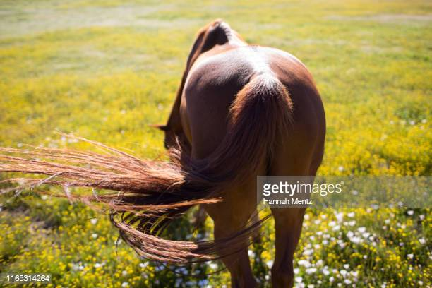 rear view of chestnut horse swishing it's tail in a meadow of yellow flowers - parte del corpo animale foto e immagini stock