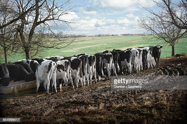 Rear view of cows feeding from trough in dairy farm field