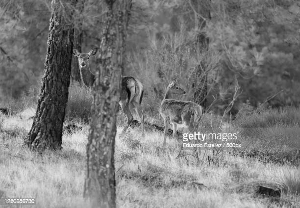 rear view of deer standing on field,zarza de granadilla,extremadura,spain - blanco y negro stock pictures, royalty-free photos & images