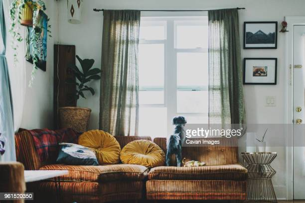 rear view of dog looking through window while standing on sofa at home - cocoon stock pictures, royalty-free photos & images