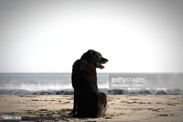 rear view of dog sitting on sand at beach against clear sky - labrador preto imagens e fotografias de stock