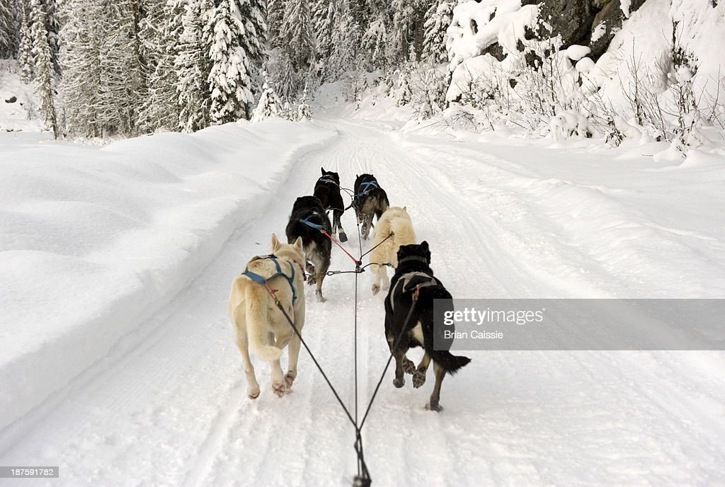 Rear view of dogs pulling a sled through snow : Stock Photo