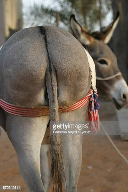 rear view of donkey with ribbon - jackass images stock pictures, royalty-free photos & images