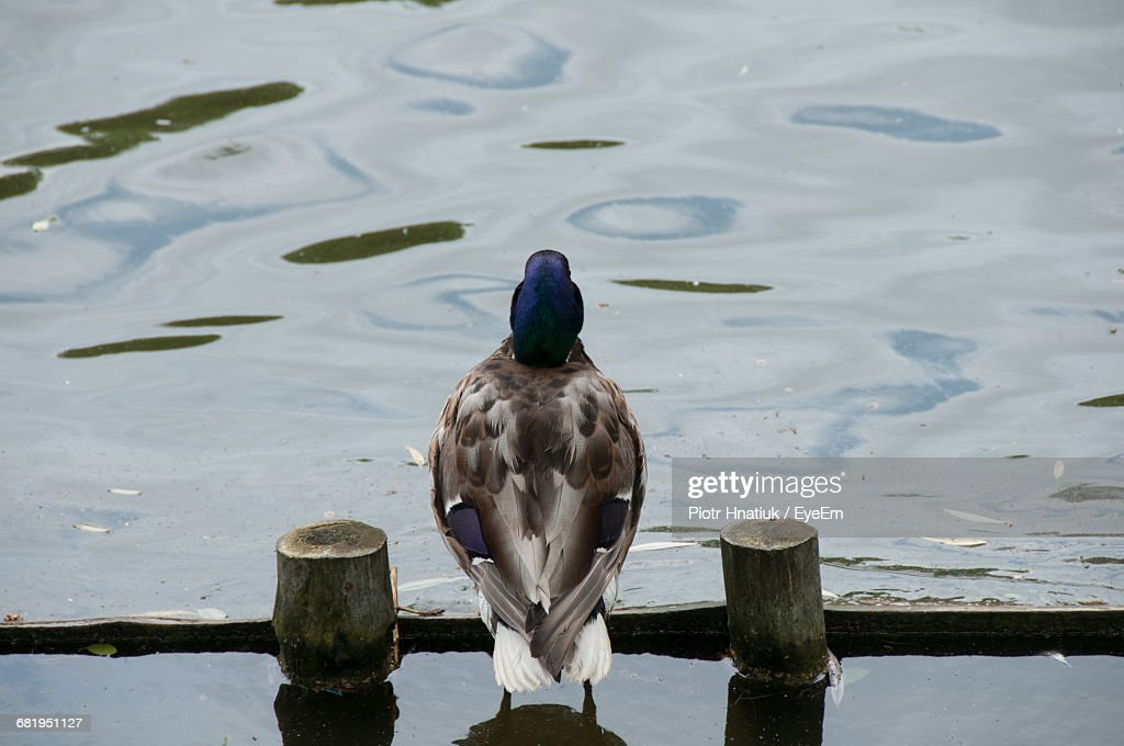 Rear View Of Duck Amidst Wooden Posts On Lake : Stock Photo