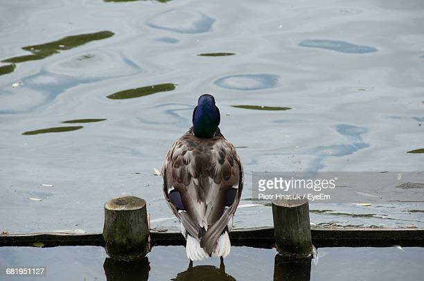 Rear View Of Duck Amidst Wooden Posts On Lake