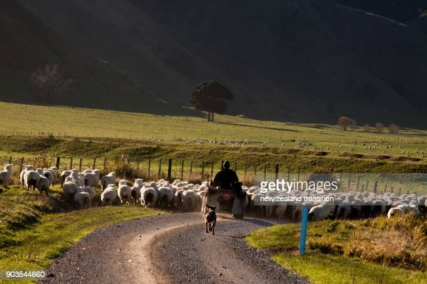 rear view of farmer on quad bike and his dog mustering sheep in late afternoon sun, rural Wairarapa