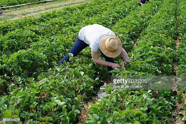 rear view of farmer on strawberry field - strawberry fields stock photos and pictures