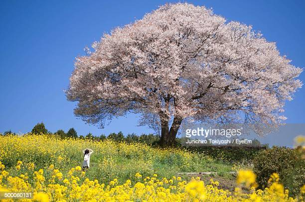 rear view of girl looking at cherry blossom tree in meadow - fukuoka city stock pictures, royalty-free photos & images