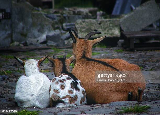Rear View Of Goat With Kids Relaxing At Farm