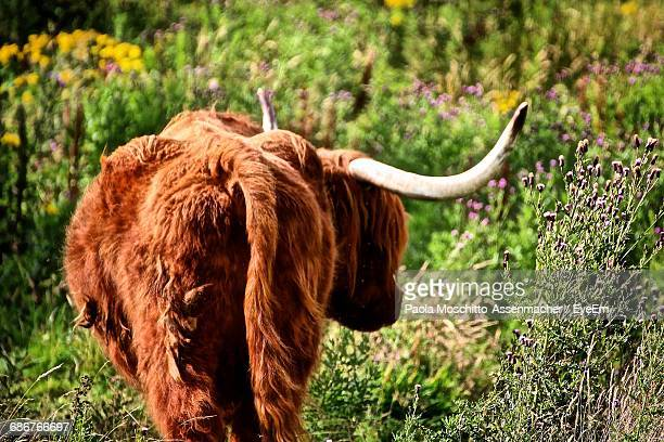 Rear View Of Highland Cattle Standing In A Field