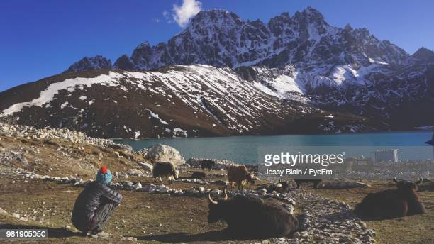 Rear View Of Man Crouching By Domestic Animals Against Mountain During Winter