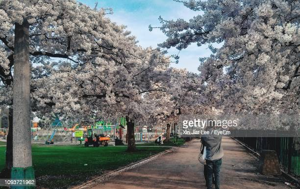 rear view of man standing amidst cherry blossoms - nottingham stock pictures, royalty-free photos & images