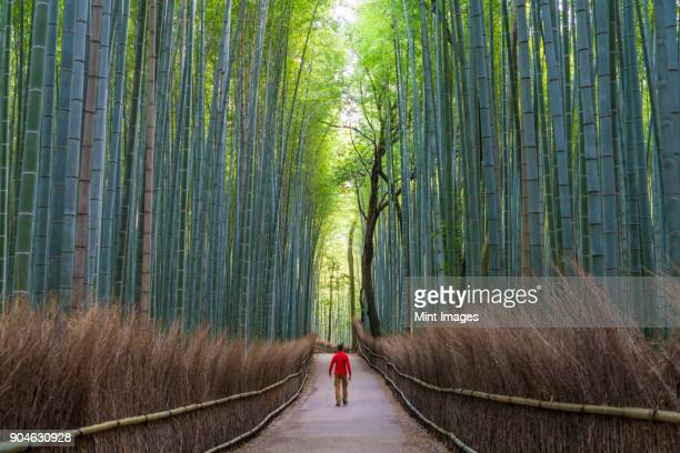 Rear view of man walking along a path lined with tall bamboo trees.