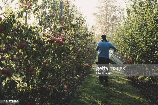 rear view of man walking in apple orchard, carrying wooden crates. apple harvest in autumn. - orchard stock pictures, royalty-free photos & images