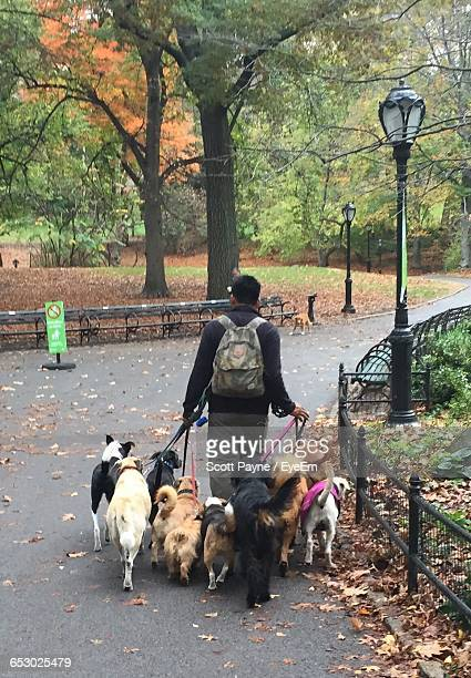 rear view of man walking with dogs on road at park - large group of animals stock pictures, royalty-free photos & images