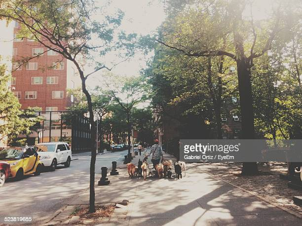 rear view of man with dogs walking on sidewalk - large group of animals stock pictures, royalty-free photos & images