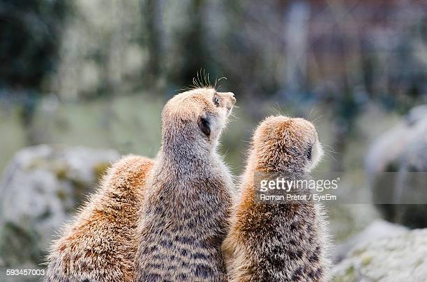 rear view of meerkats on rock - roman pretot stock-fotos und bilder