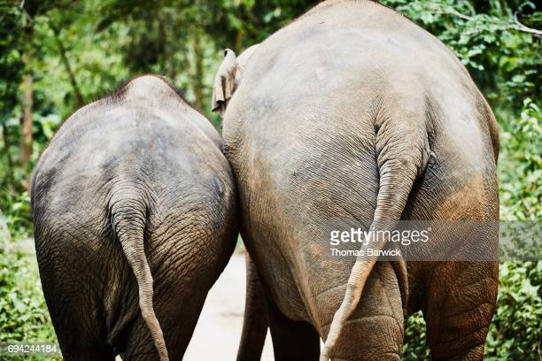 Rear view of older and younger Asian elephants walking down road