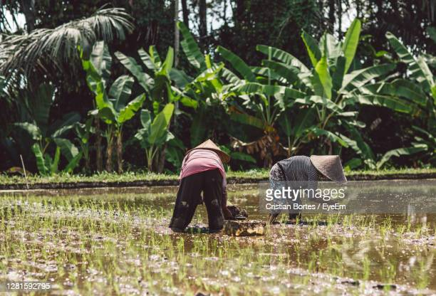 rear view of people working on rice fields - bortes stock pictures, royalty-free photos & images