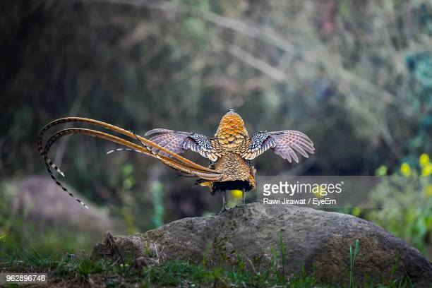 rear view of pheasant perching on rock - pheasant tail feathers stock pictures, royalty-free photos & images