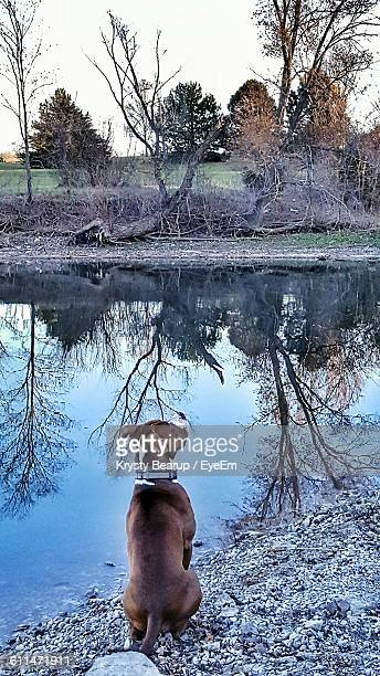 Rear View Of Pit Bull Sitting By Lake At Dusk