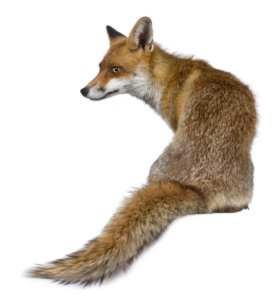 Rear view of Red Fox, sitting and looking away. 106519101