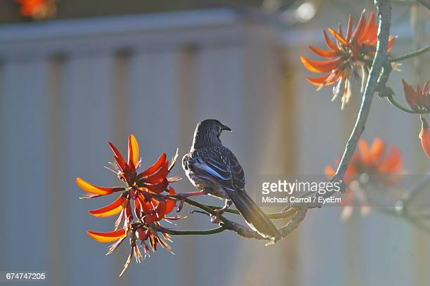 rear view of red wattlebird perching on branch - michael stock photos and pictures