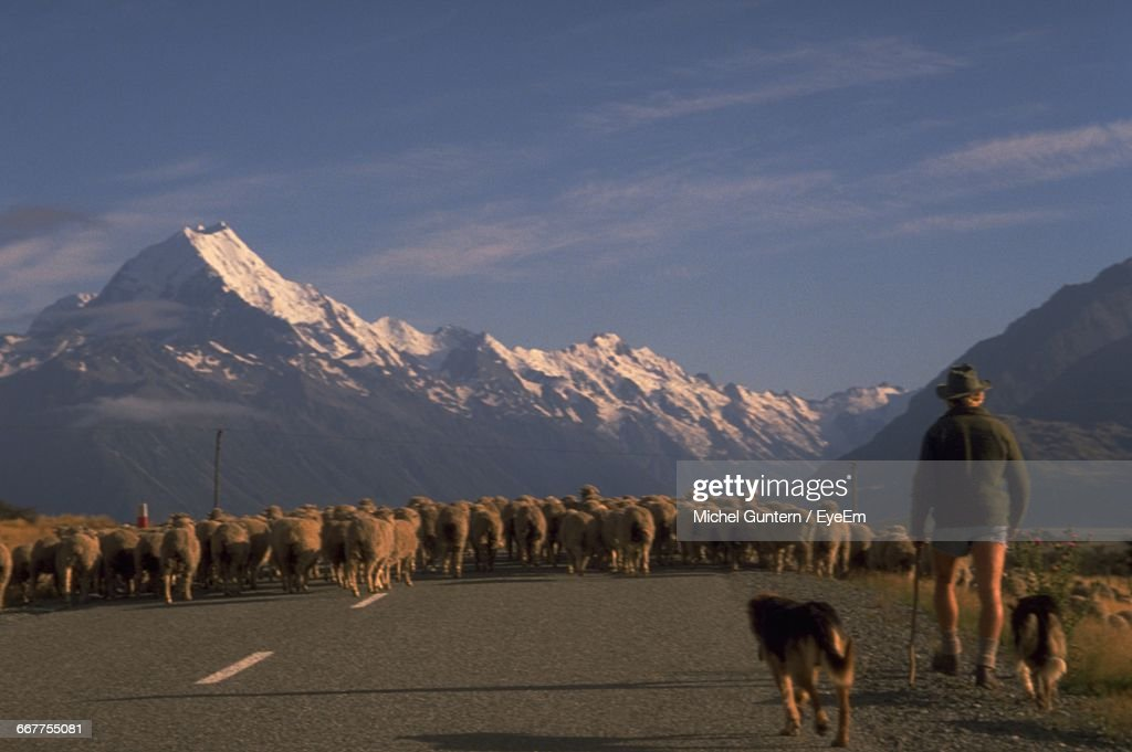 Rear View Of Shepard With Dogs Walking Towards Flock Of Sheep : Stock Photo