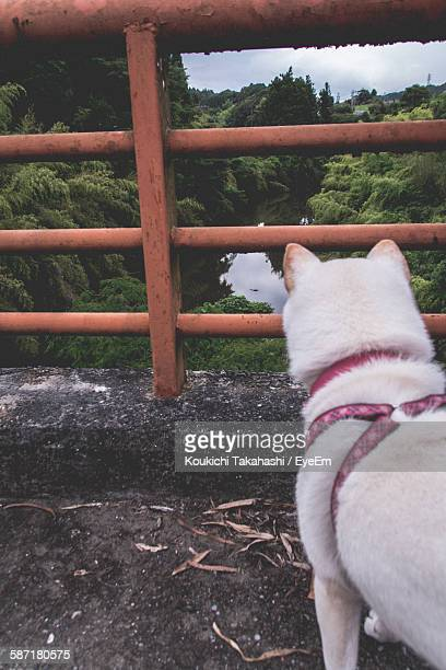 Rear View Of Shiba Inu Standing On Bridge Over River