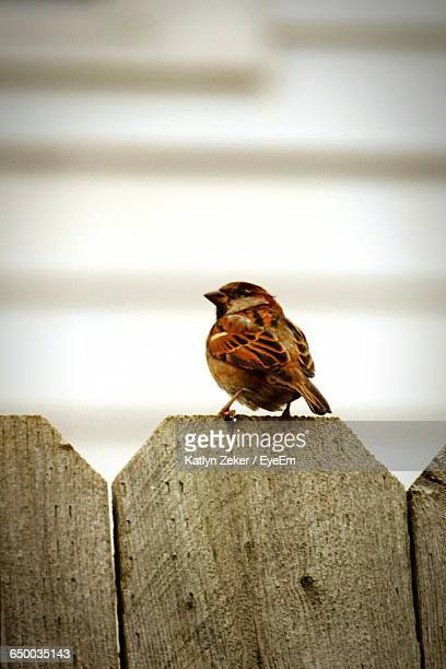 Rear View Of Sparrow Perching On Wooden Railing