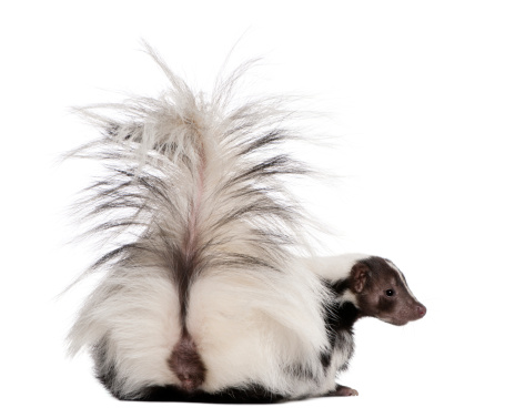 Rear view of Striped Skunk, 5 years old, sitting. 119509576