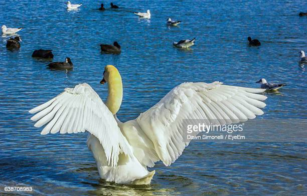 Rear View Of Swan Flapping Wings On Lake
