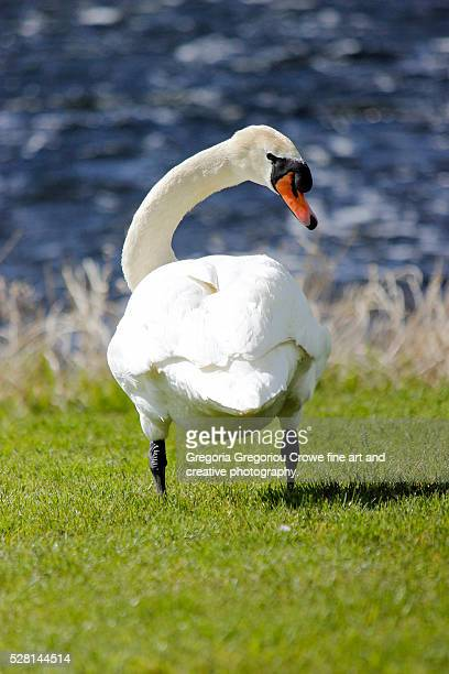 rear view of swan - gregoria gregoriou crowe fine art and creative photography. stock pictures, royalty-free photos & images