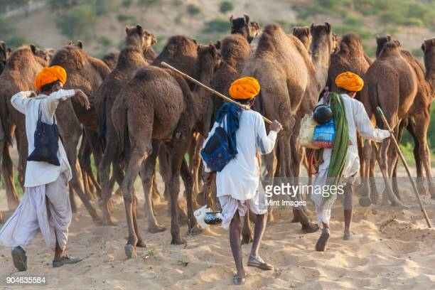 Rear view of three men wearing traditional clothing leading a herd of camels through the sand.
