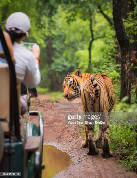 rear view of tourist photographing tiger while sitting in car at forest - ranthambore national park stock pictures, royalty-free photos & images