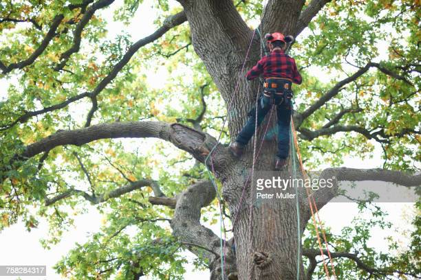 Rear view of trainee teenage male tree surgeon climbing up tree trunk