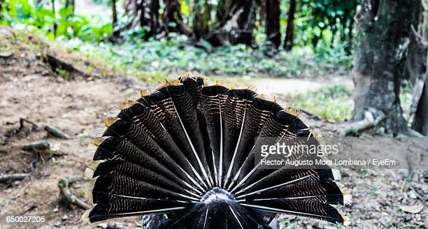 rear view of turkey on field - turkey feathers stock photos and pictures