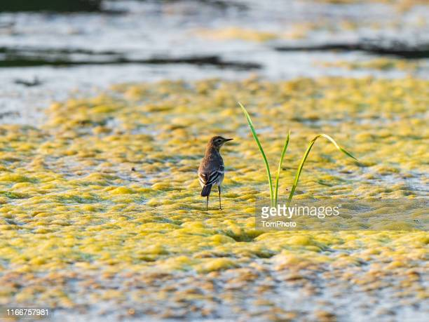 rear view of western yellow wagtail on water plant - セキレイ ストックフォトと画像