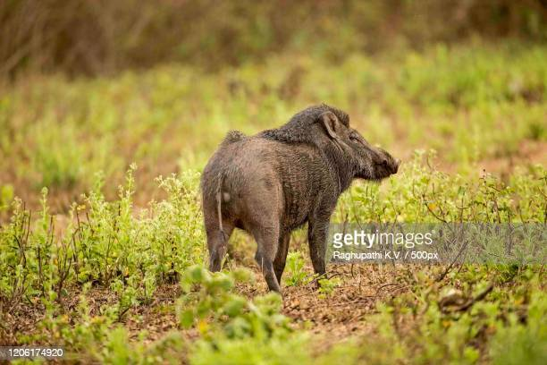 rear view of wild boar - images stock pictures, royalty-free photos & images