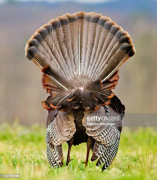 Rear view of wild male turkey