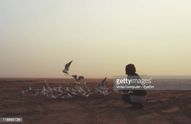 rear view of woman feeding birds while crouching at beach against clear sky during sunset - invercargill stock pictures, royalty-free photos & images