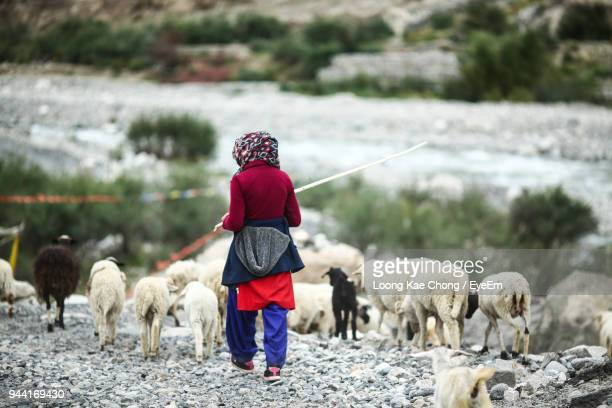 rear view of woman herding sheep on field - kashmir stock photos and pictures