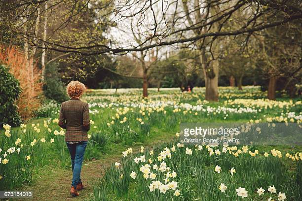 rear view of woman walking amidst daffodils blooming on field - bortes stock pictures, royalty-free photos & images