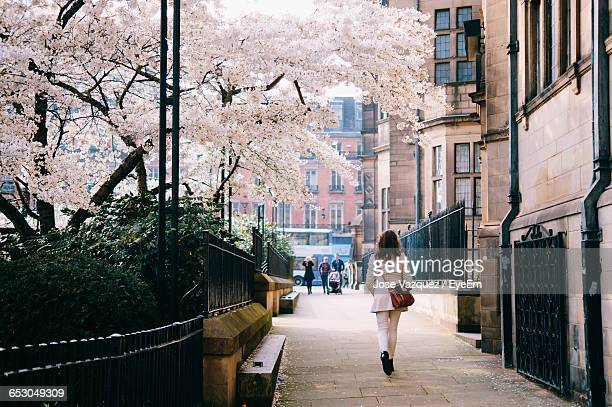 rear view of woman walking on street by cherry blossom tree - sheffield stock pictures, royalty-free photos & images