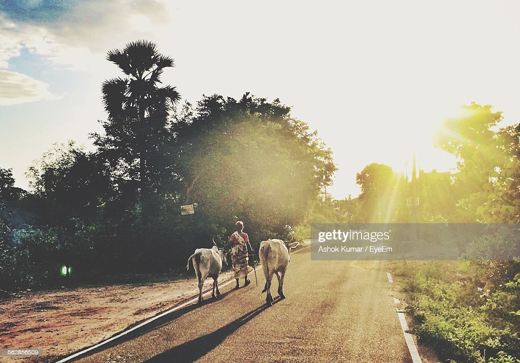 Rear View Of Woman With Cows Walking On Street During Sunset : Stock Photo