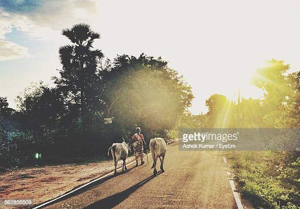 rear view of woman with cows walking on street during sunset - village stock pictures, royalty-free photos & images