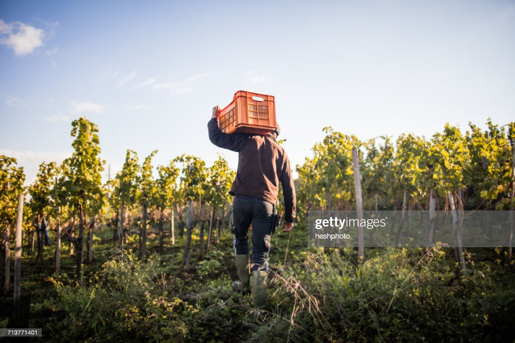 Rear view of young man carrying grape crate on shoulder in vineyard : Stock Photo